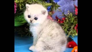 Котенок британская шиншилла Звездный Сюжет, кот, 1мес