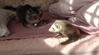 遊び疲れてまったりしている猫と、「もうあそばないの?」なフェレット.