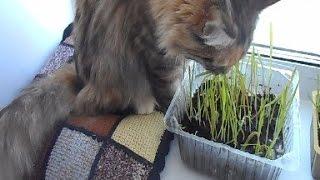 У кошки огород на окошке Зачем кошке трава?