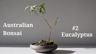 How to make an Australian Eucalyptus Bonsai
