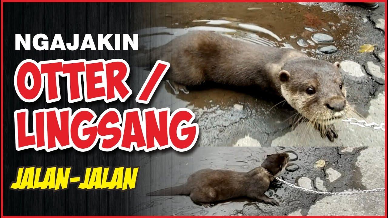 Ngajak Jalan2 Otter Agar Bonding Berang Linsang Bonding Jinak Total Youtuber Kraksaan Youtube