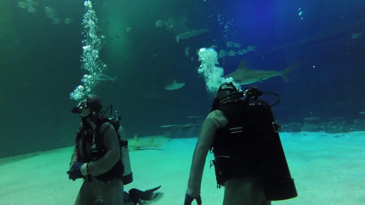 scuba diving the mandalay bay shark reef tank las vegas youtube