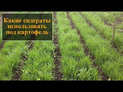 Какие сидераты посадить после картофеля осенью | картофеля | картофель | сидераты | посадить | осенью | сеять | после | лучше | какие | под
