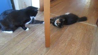 Кот и котёнок - Знакомство!