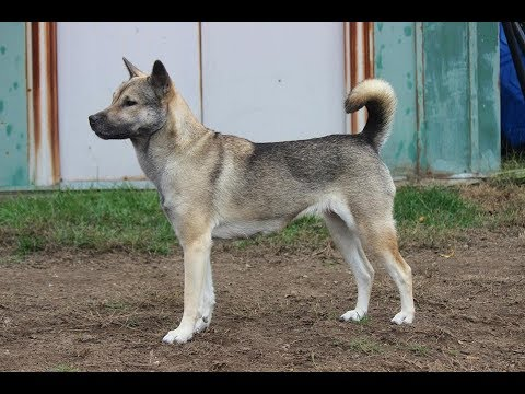 Kishu Ken (Kishu Inu) / Dog Breed
