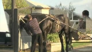Казахстан г. Житикара лошади Орловской породы
