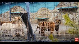 Как молодые тигры и львы реагируют на кошку ...