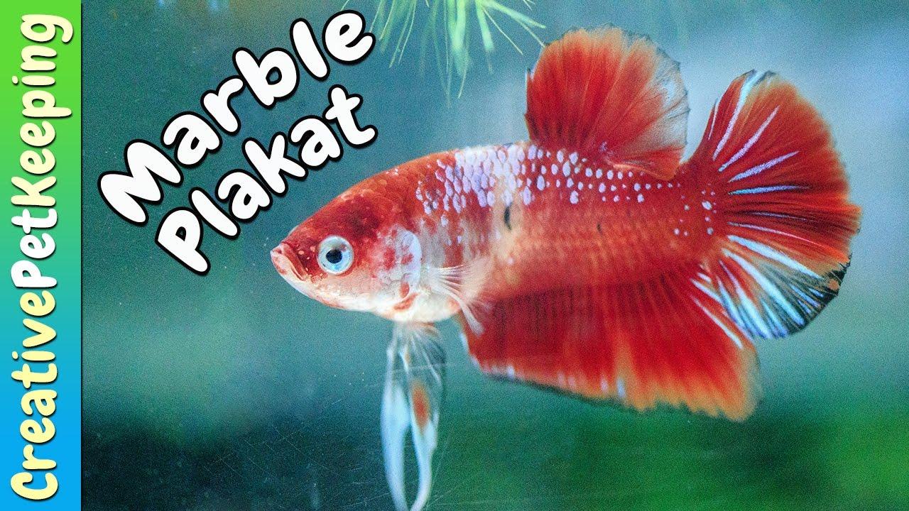 Beautiful betta marble red koi plakat funnydog tv for Petco koi fish