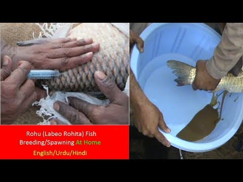 Rohu Fish Breeding/Spawning At Home (Labeo Rohita)