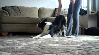 "How-to Teach The ""where's Your Bum"" Trick - New Funny Dog Trick"