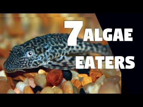 7 Types Of Algae Eating Fish For Aquarium