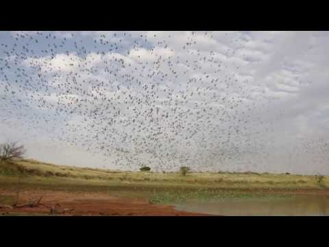 Budgie Murmurations (Large Flocks) In Central Australia