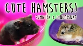 INTERMISSION! Cute Hamsters - Sumatra & Gingersnap Thumbnail