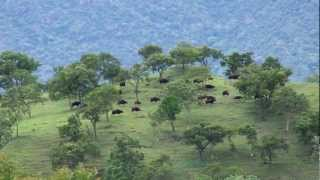 Indian Gaur herd at Sathyamangalam Forests