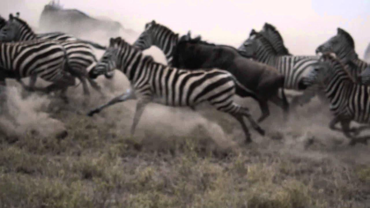 Zebra Amp Wildebeest Stampede Youtube