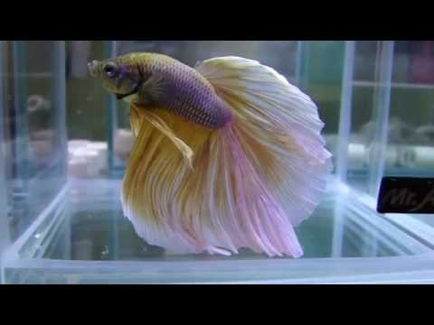 Top 50 Most Beautiful Colorful Betta Fish In The World