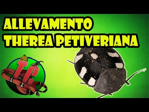 Allevamento Therea petiveriana (Domino Roach/Blatta domino)