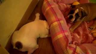 """Разбор """"полетов"""" (пухлика) купить щенка английского бульдога PR company BulldogFILL"""
