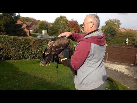 Eagle Manning my lovely eagle getting there with the Manning