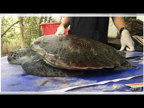 Thai turtle's plastic-filled stomach highlights ocean crisis