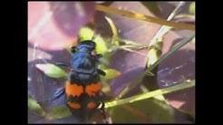 Turkkilo kovakuoriainen