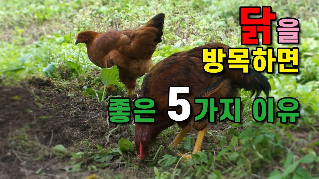 예초기보다 일 더 잘하는 #닭들을 #방목해야 하는 5가지 이유
