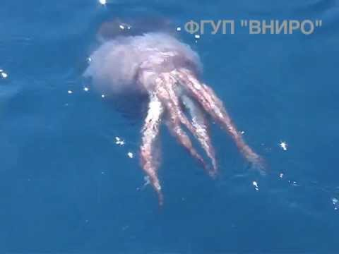 Russian scientists were able to videotape the giant squid