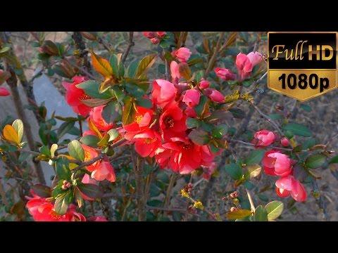 Beautiful Flowering Nature Video Full HD - Flowering Trees - Amazing Spring Nature Scenery 1080p