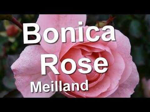 Bonica Rose Meilland