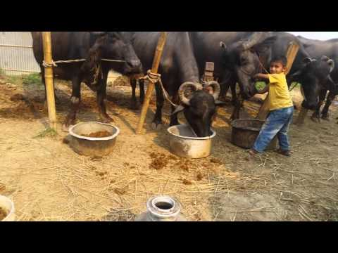 One boy vs six buffalo