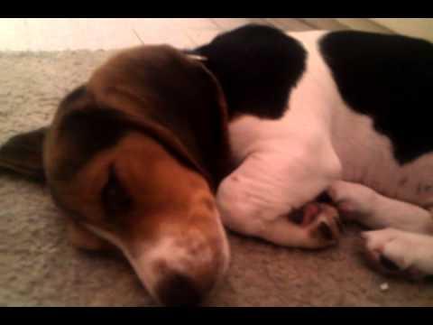Download Super Cute Beagle Adorable Dog - hqdefault  Photograph_1002523  .jpg