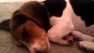 Super Cute Doxles Mini Dachshund & Beagle Mixed Puppy Snores