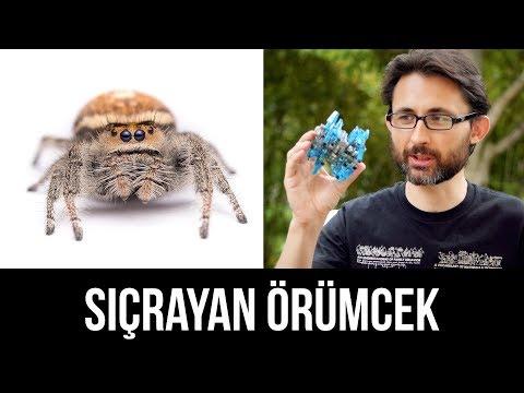 Örümceği eğitip sıçratabilir misiniz?