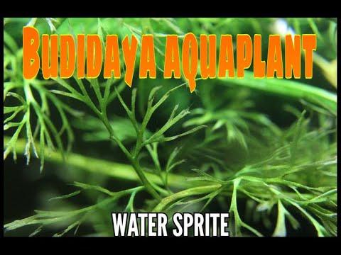 budidaya-tanaman-aquascpe-water-sprite-pakis-air-tanaman-air-pemula-mudah-low-budget-menguntungkan