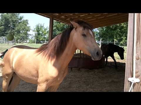 Scattered Oaks Morgan Horses- Buckskin Filly for sale- Amy - video 01