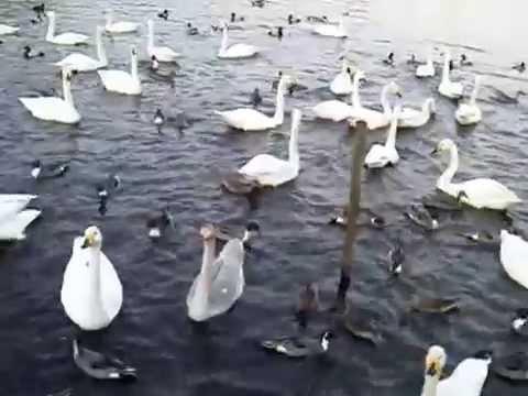 20150211水戸市弁天池のハクチョウ白鳥スワンSWANS