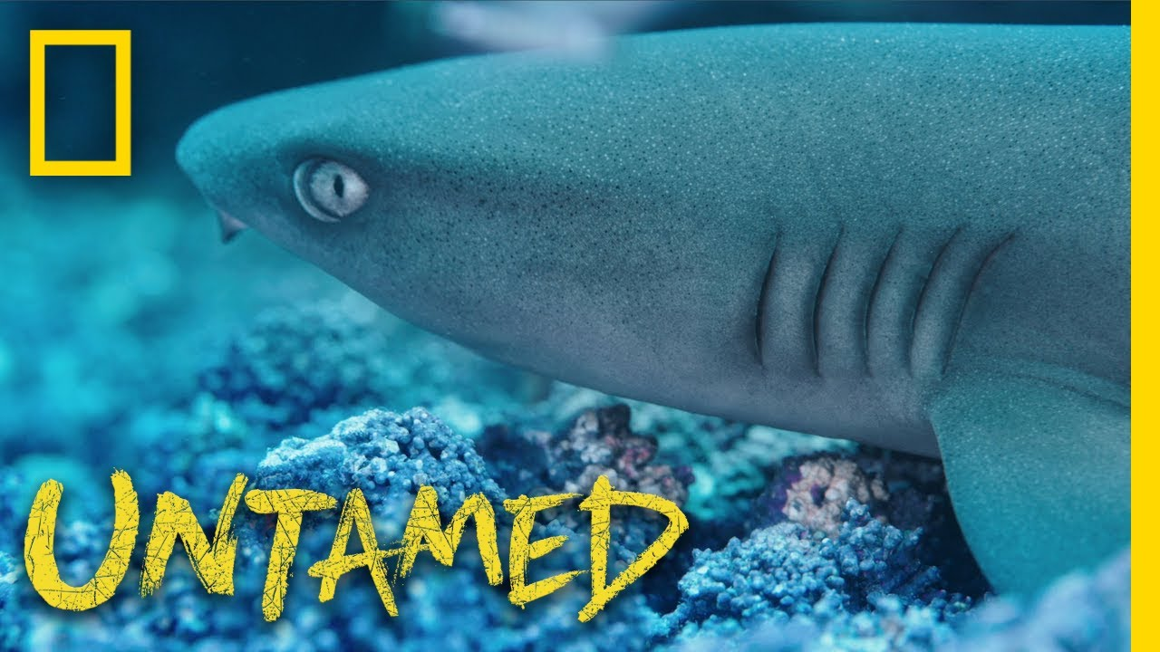 Cocos Shark Frenzy   Untamed