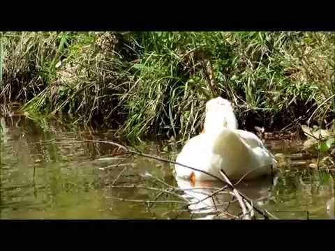 Domestic Ducks Survive in the Wild, Bluffton, SC