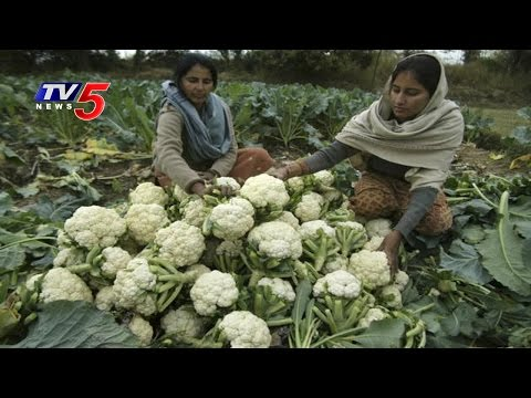Guntur Farmers Worries Over Loss In Cauliflower Farming | Annapurna | TV5 News