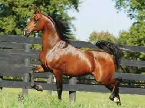 Arabian horse heros youtube - Arabian horse pictures ...