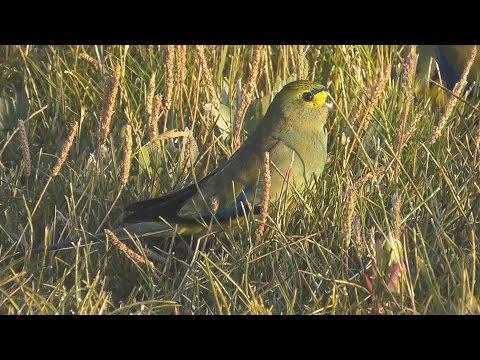 Blue Winged Parrot ( Neophema chrysostoma ) HD Video Clip 1/1 Tim Sigga ABVC
