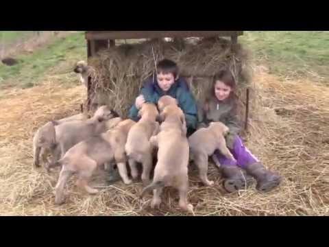Turkish Kangal pups playing with my kids:   (www.olympicdogs.net )