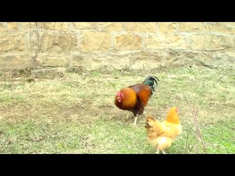 Rooster Calling Hens