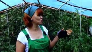 Болезни помидоров в теплице/скручиваются листья/вершинная гниль/фитофтороз(, 2016-07-20T17:49:47.000Z)