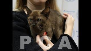 Бурманские котята из питомника PCA Бурбон