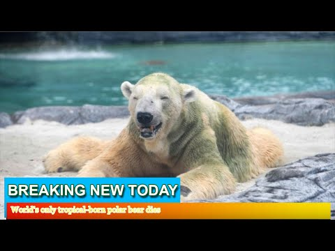 Breaking News - World's only tropical-born polar bear dies