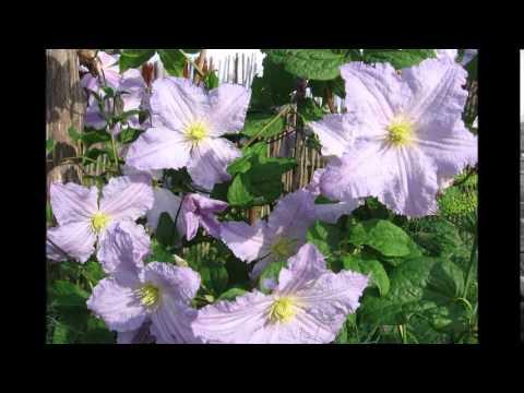 Прекрасные клематисы в саду. Фото цветов клематис