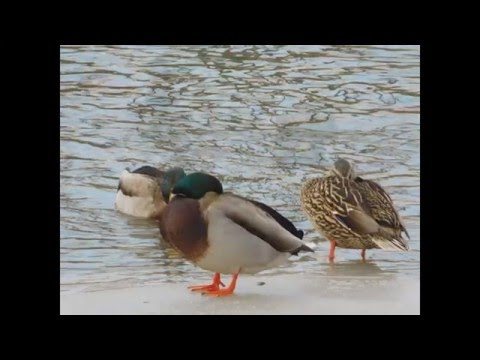 Photos of Ducks Swimming - I&M Canal in Lockport Illinois - 23 January, 2016