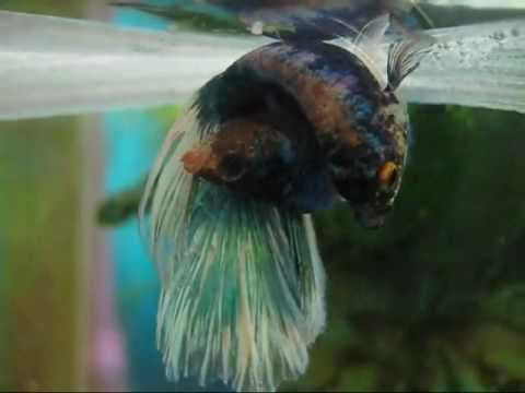 Step by step guide to breeding betta fish doovi for Betta fish personality