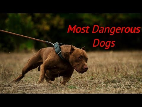 7 most dangerous dogs breeds in the world Your Videos